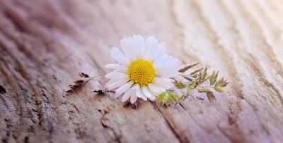 daisy-757192_1280
